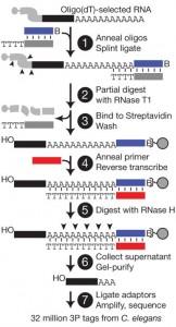 Formation, regulation and evolution of Caenorhabditis elegans 3'UTRs