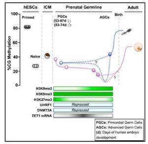 DNA demethylation dynamics in human prenatal germline cells