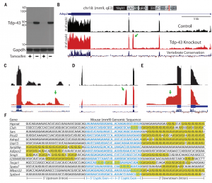 TDP-43 repression of nonconserved cryptic exons is compromised in ALS-FTD