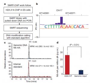 DNA methylation on N6-adenine in mammalian embryonic stem cells