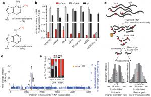 The dynamic N1-methyladenosine methylome in eukaryotic messenger RNA