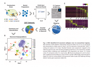 Neuronal subtypes and diversity revealed by single-nucleus RNA sequencing of the human brain