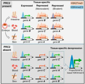 Acquired Tissue-Specific Promoter Bivalency Is a Basis for PRC2 Necessity in Adult Cells