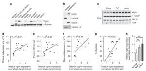 The RNA-binding protein vigilin regulates VLDL secretion through modulation of Apob mRNA Translation