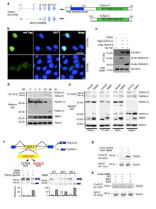 A splicing isoform of TEAD4 attenuates the