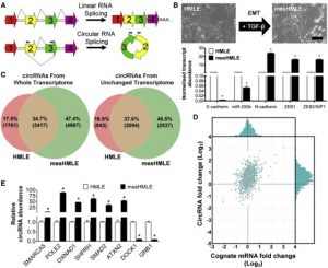 The RNA Binding Protein Quaking Regulates Formation of circRNAs